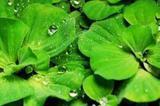 Продам аквариумное растение пистия